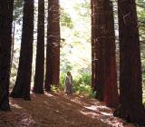 The Sequoia Grove